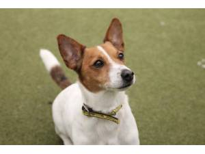Trigger - Male Jack Russell Terrier (JRT) Photo