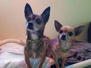 Zeus - Male Chihuahua: Short Hr Photo