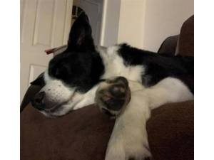 Romeo - Male Border Collie Photo