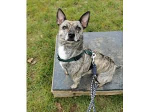 Rex - Male Chihuahua Cross Photo