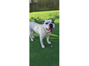 Rosco - Male American Bulldog Photo