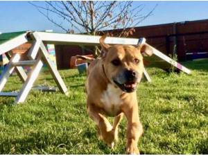 GIZZY - Staffordshire Bull Terrier Photo