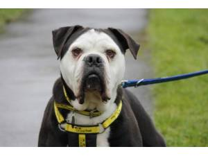 Alfred - Male Bulldog: English Photo