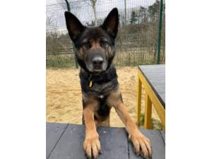 Bella Gsd - Female German Shepherd Dog (GSD / Alsatian) Photo