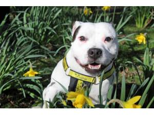 Bruno - Male Staffordshire Bull Terrier (SBT) Photo