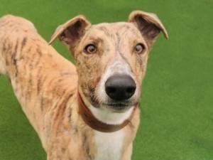 Healey - Male Greyhound Photo