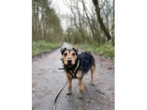 Woofy - Male Patterdale Terrier Photo