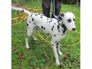 Paddy - Male Dalmatian Photo