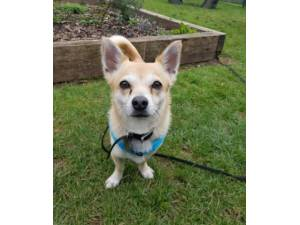 Sonny - Male Chihuahua Cross Photo