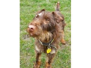 Bernard - Male Patterdale Terrier Photo
