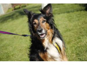 Jake - Male Collie Cross (Border) Photo