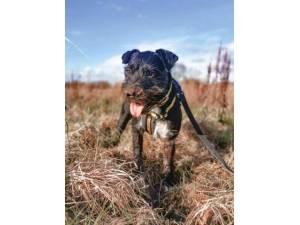Nigel - Male Patterdale Terrier Photo