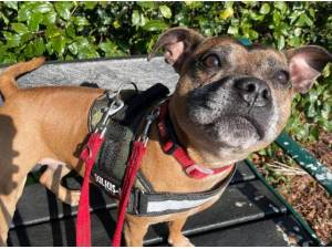 RED - Staffordshire Bull Terrier Photo
