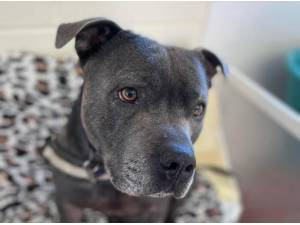 BLUE - Staffordshire Bull Terrier Photo