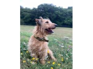 Alfred - Male Terrier Cross Photo