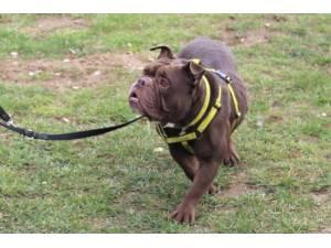 Bentley - Male Bulldog: English Photo