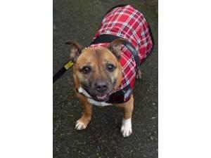 Greg - Male Staffordshire Bull Terrier (SBT) Photo