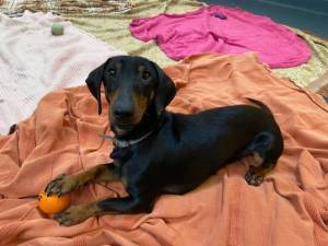 Maszat - male Dachshund Photo