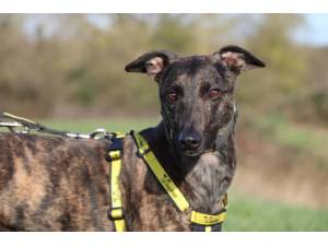 Arnie - Male Lurcher Photo