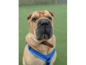 Tye - Male Shar-Pei Photo