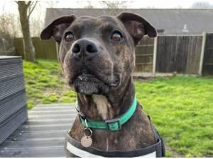 BRYN - Staffordshire Bull Terrier Photo