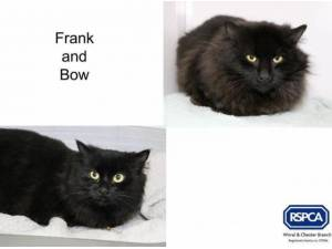 FRANK AND BOW - Domestic Longhair  crossbreed Photo