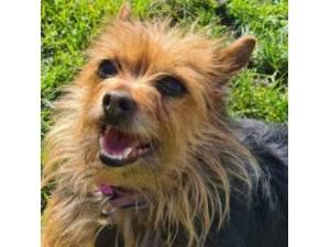 Roxy - Yorkshire Terrier Photo