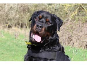 Zak - Male Rottweiler Photo