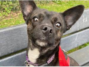 MINNIE - Terrier  crossbreed Photo