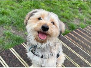 BOWIE - Yorkshire Terrier  crossbreed Photo