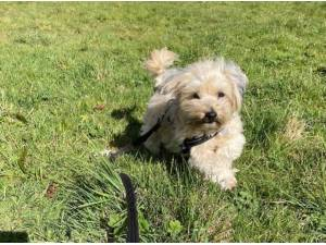 TEDDY - Yorkshire Terrier  crossbreed Photo