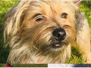 DUDLEY - Yorkshire Terrier  crossbreed Photo