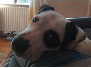 LOUIE - Staffordshire Bull Terrier  crossbreed Photo