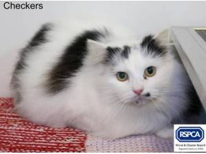 CHECKERS - Domestic Longhair  crossbreed Photo