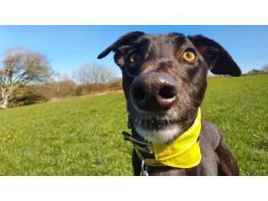 Aj - Male Greyhound Photo