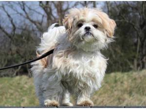 Gilbert - Male Shih Tzu Photo