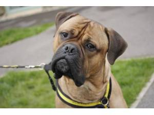 Mooch - Male Mastiff: Old English Photo