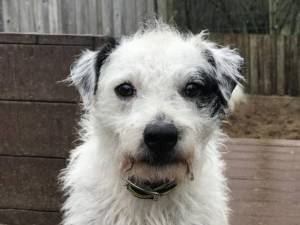 Toby - Male Terrier Cross Photo
