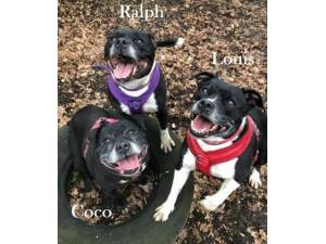 Coco, Louis & Ralph - Staffordshire Bull Terrier Photo