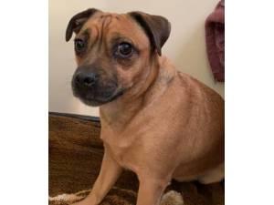 Alfie - Male Pug Cross Photo