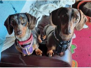 HOBNOB AND JILL - Dachshund (Miniature) Photo