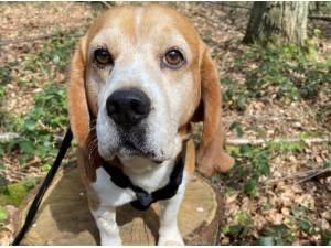 BOUNCER - Beagle Photo
