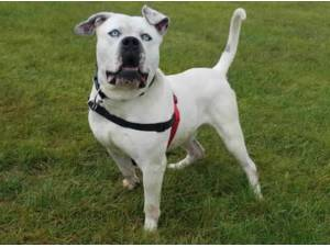 STILTON - American Bulldog Photo