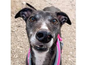 Ally - Female Greyhound Photo