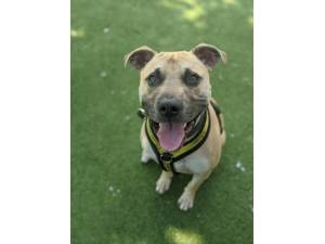 Frank - Male Staffordshire Cross (SBT) Photo