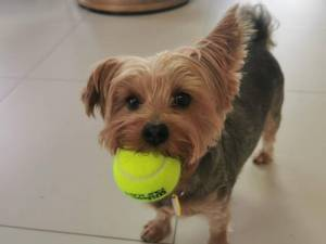 Koko - Female Terrier: Yorkshire Photo