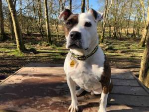 Nellie - Female Staffordshire Cross (SBT) Photo