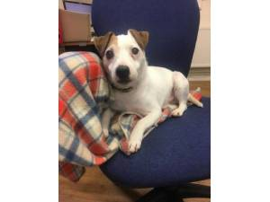 Pepper - Male Jack Russell Terrier (JRT) Photo