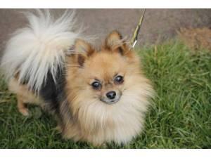 Quincy - Male Pomeranian Photo