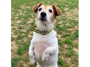 Spud - Male Jack Russell Terrier (JRT) Photo